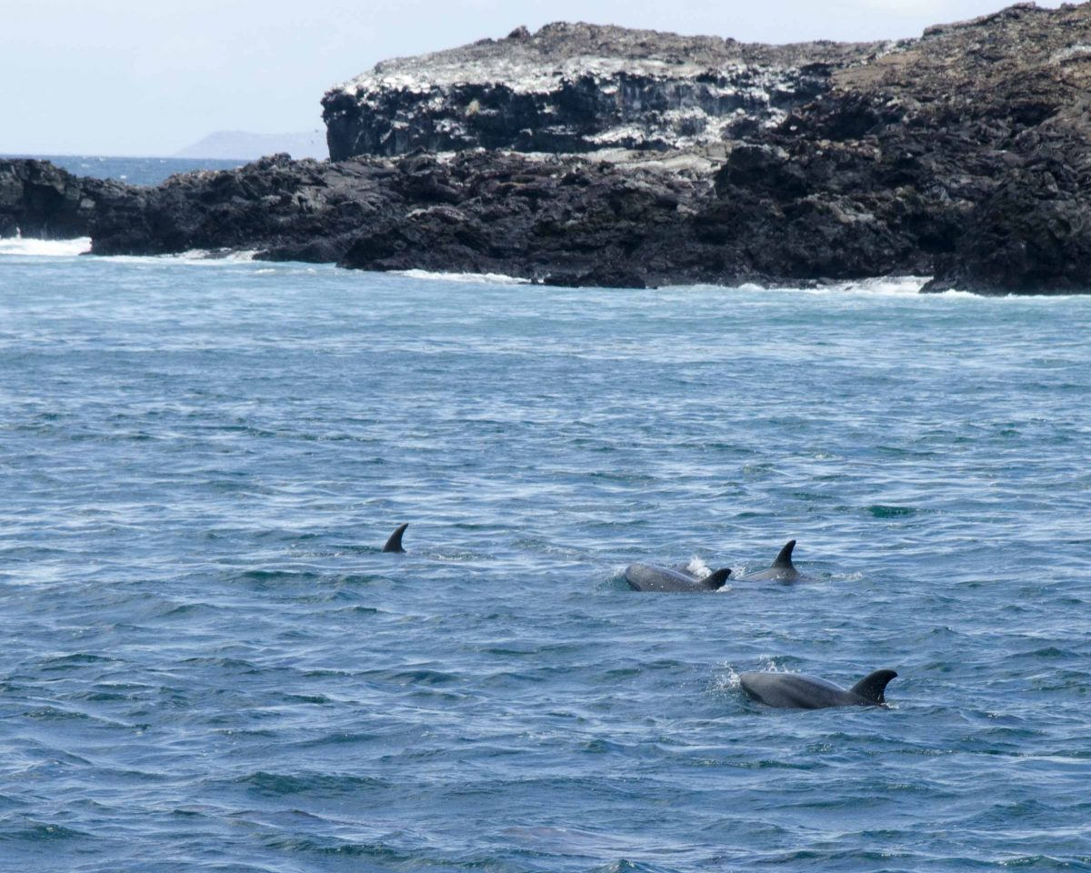 Dolphins just off the coast of Bartolome Island, the Galapagos.