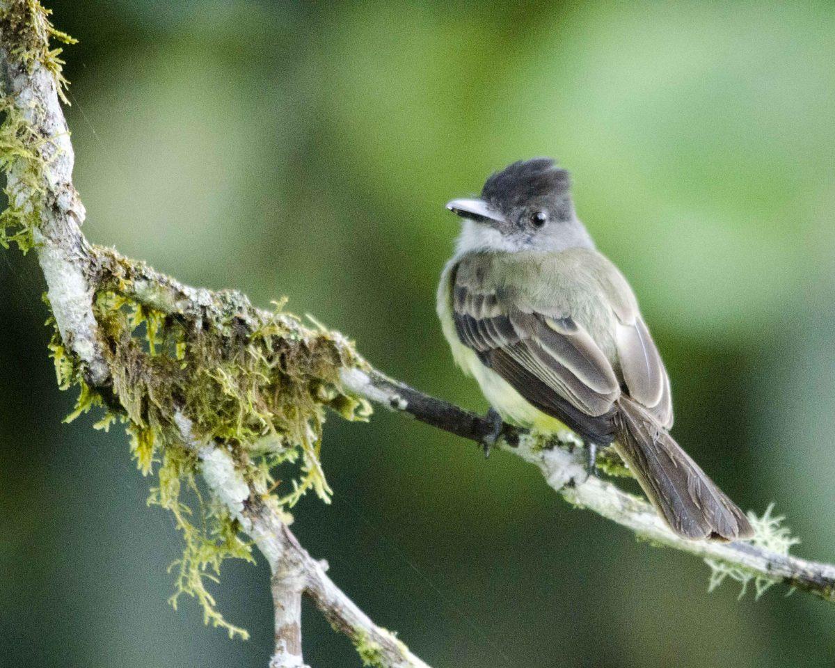 Slaty-capped Flycatcher, San Jorge de Milpe