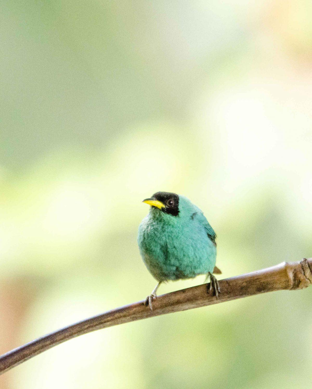 Green Honeycreeper, San Jorge de Milpe, Ecuador