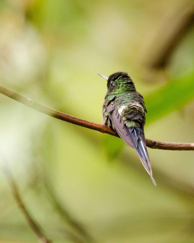 Green Thorntail, San Jorge de Milpe, Ecuador