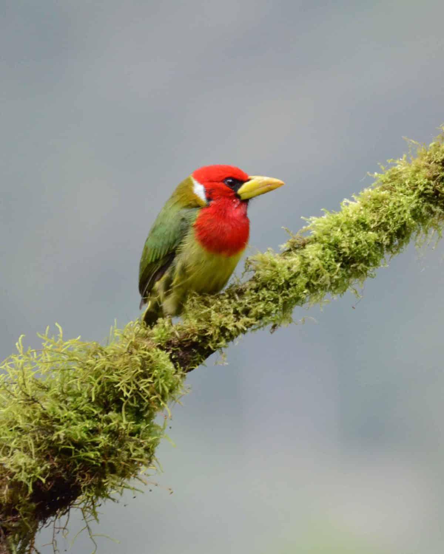 Red-headed Barbet , San Jorge de Milpe, Ecuador