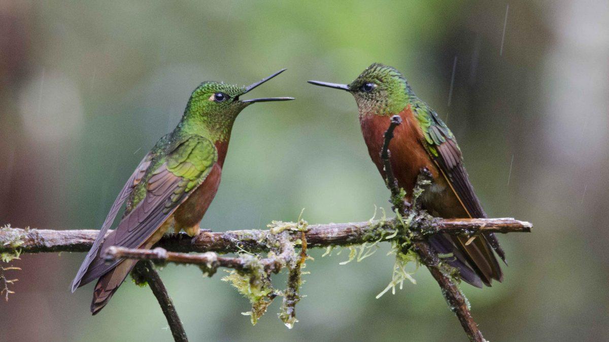 Where to See Hummingbirds in Ecuador