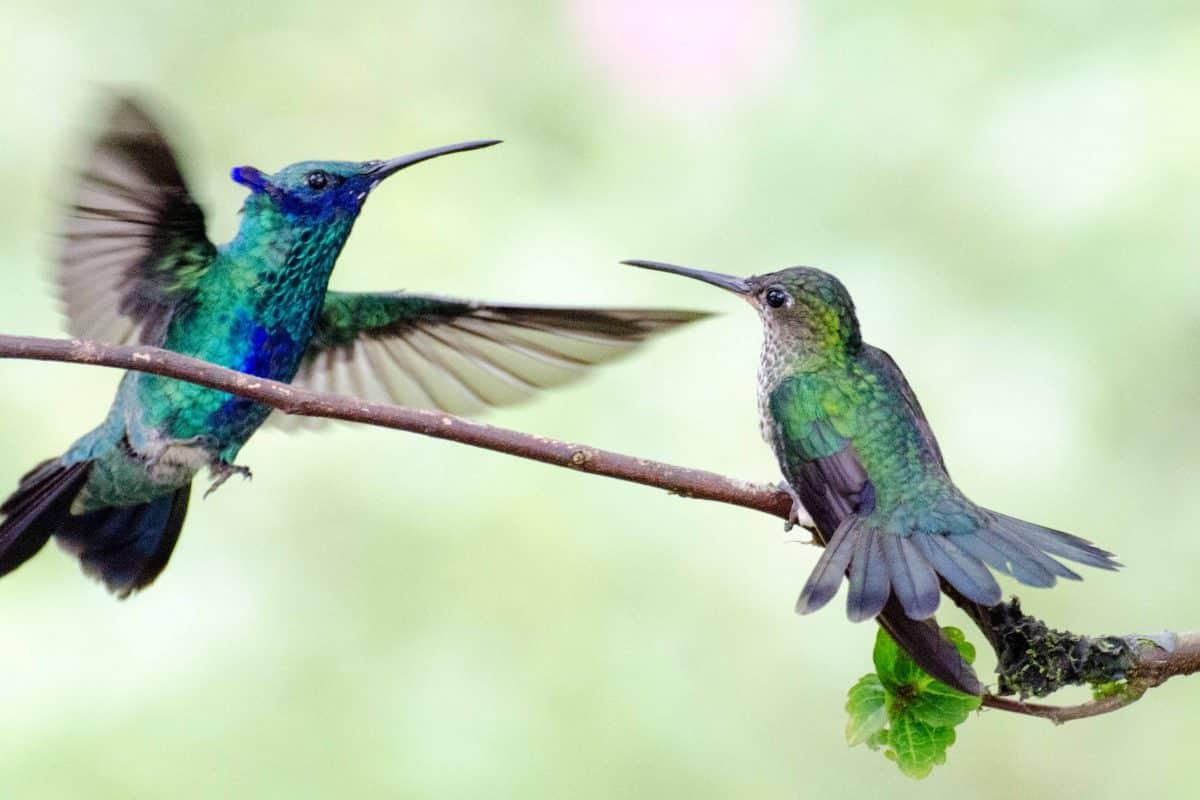A Sparkling Violetear Hummingbird Attacks a Many-spotted Hummingbird, Napo Province, Ecuador   ©Angela Drake /Ecuador Por Mis Ojos