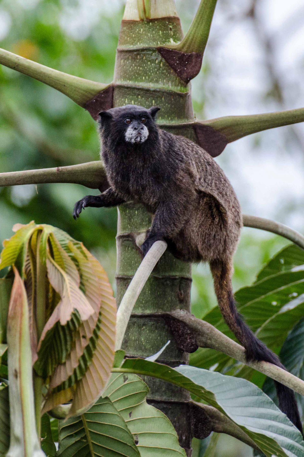 Tamarin Monkey, Napo Province, Ecuador   ©Angela Drake /Ecuador Por Mis Ojos