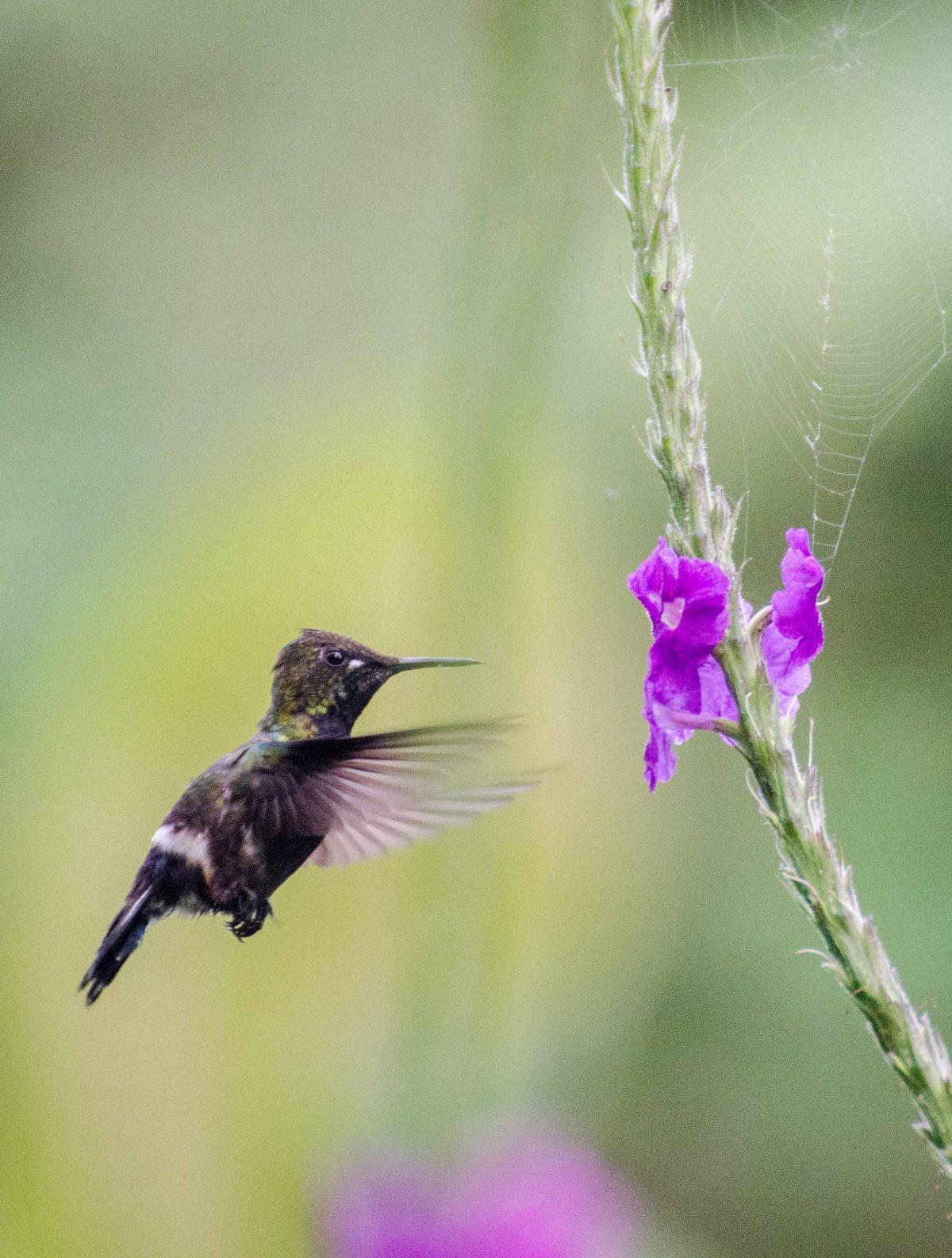 Female Wire-crested Thorntail Hummingbird, Napo Province, Ecuador   ©Angela Drake / Ecuador Por Mis Ojos
