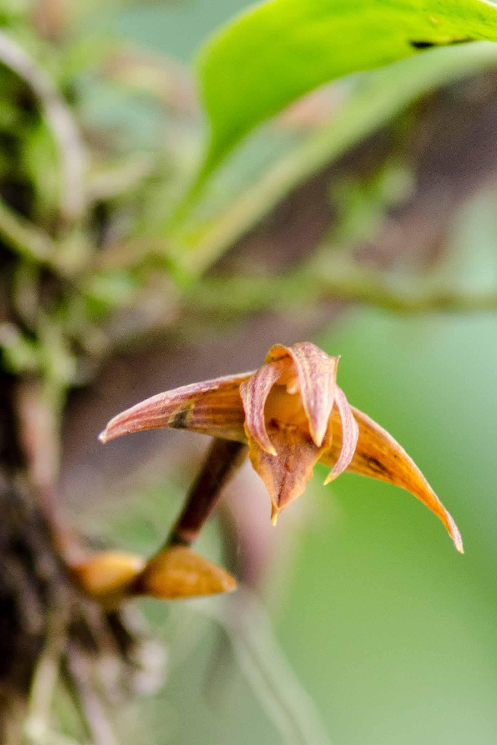 A Wild Orchid, Napo Province, Ecuador   ©Angela Drake /Ecuador Por Mis Ojos