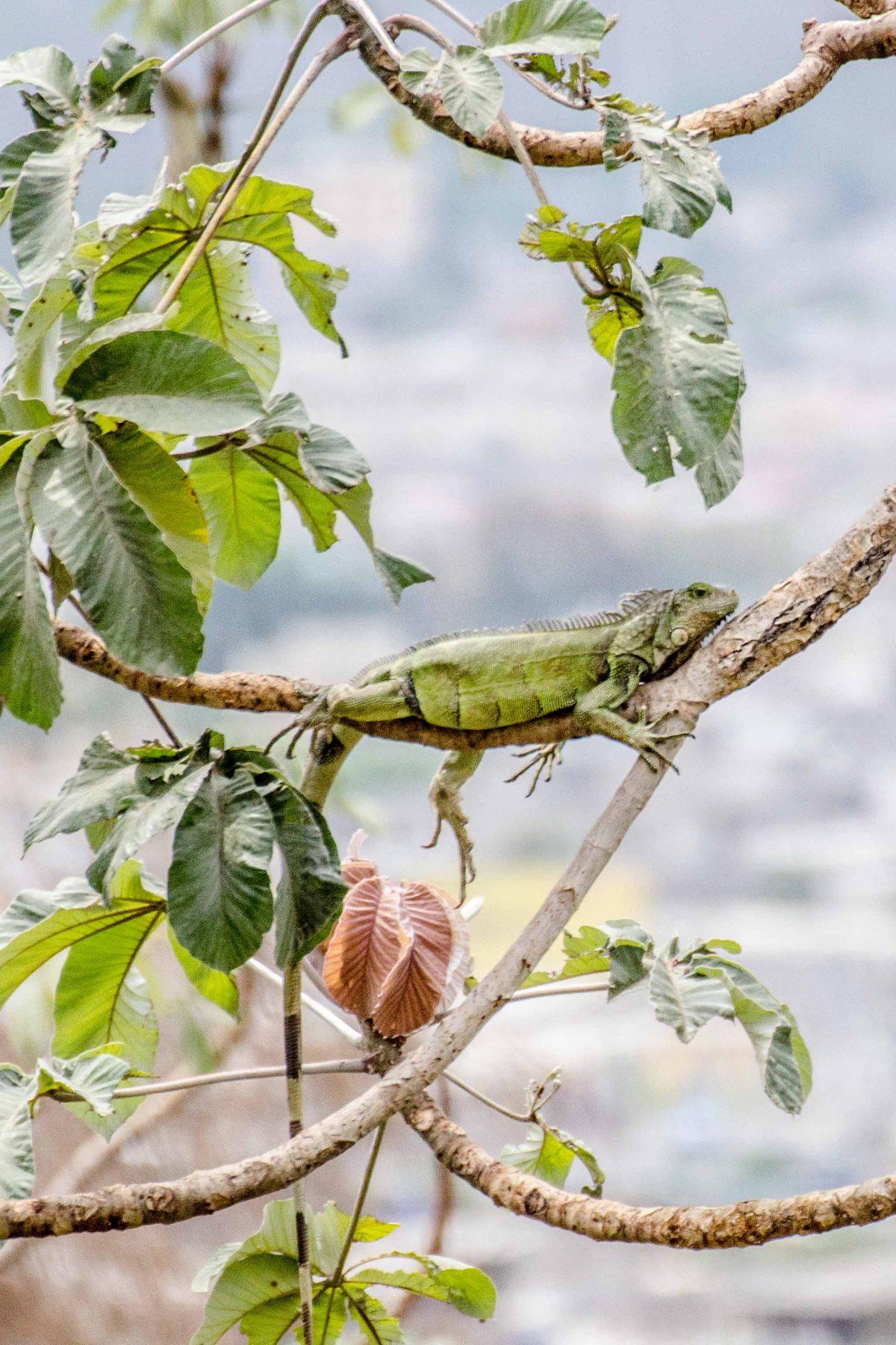 A Green Iguana, Jardin Botanico, Guayaquil, Ecuador | © Angie Drake / Ecuador Por Mis Ojos