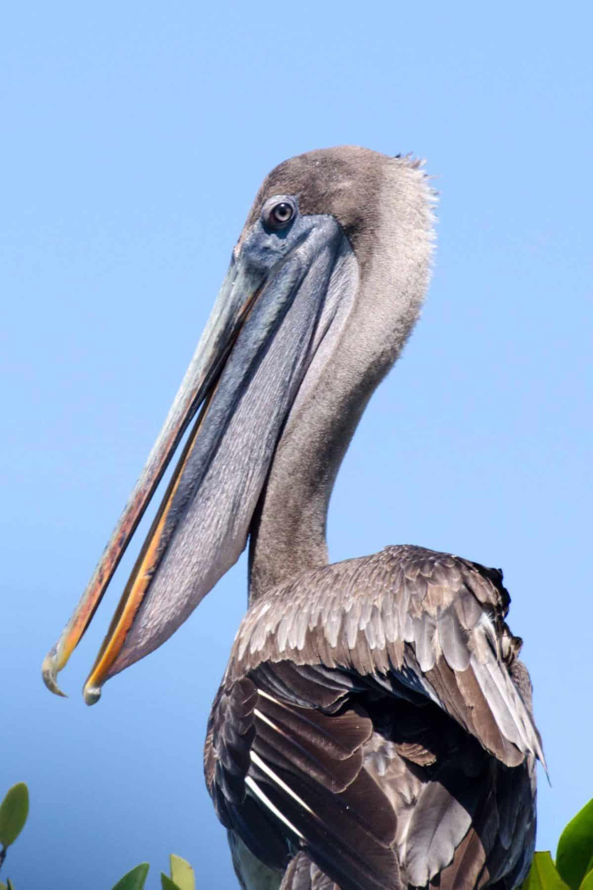 Brown Pelican, Isabela Island, The Galapagos, Ecuador | ©Angela Drake / Not Your Average American