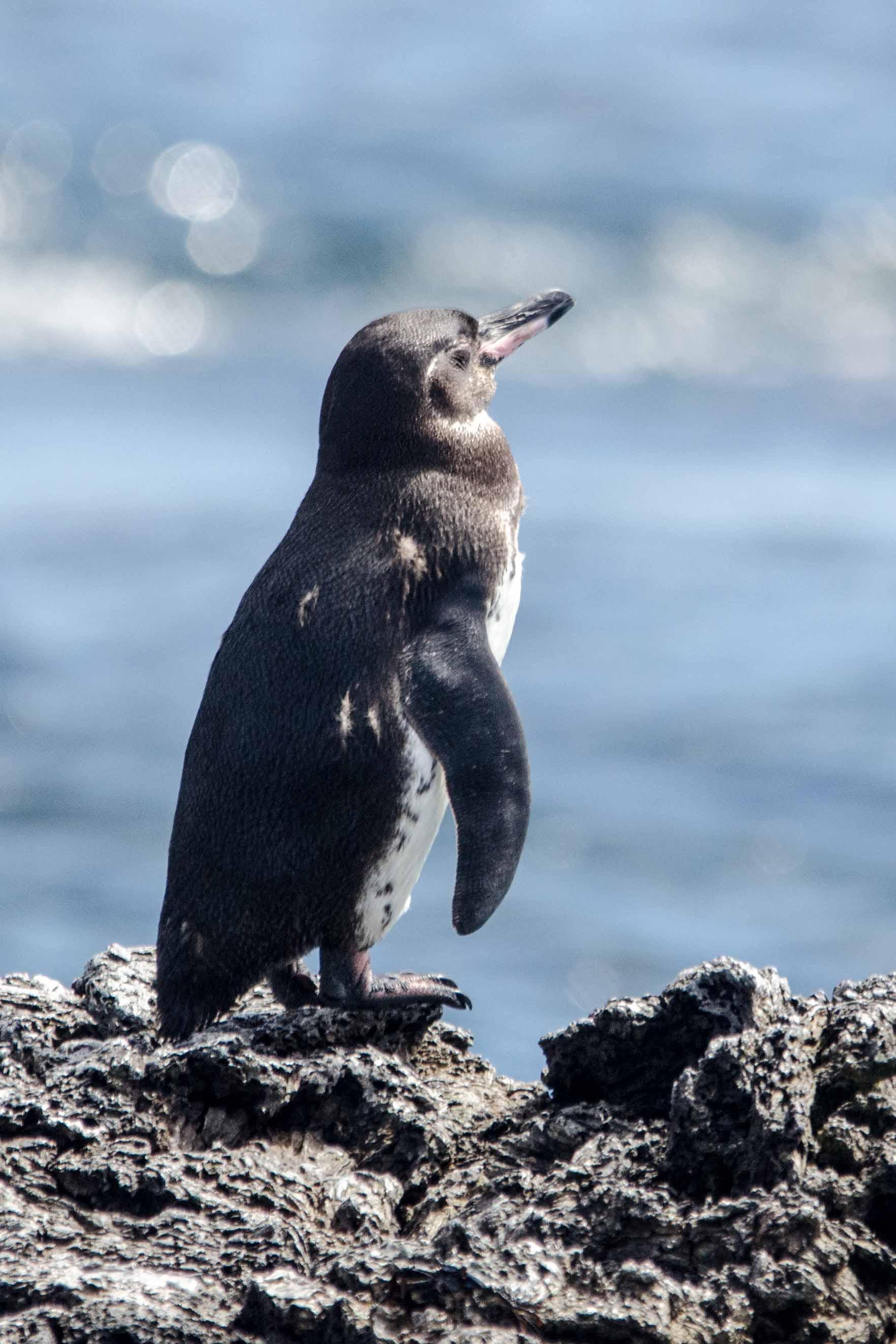 Galapagos Penguin, Isabela Island, The Galapagos, Ecuador | ©Angela Drake / Not Your Average American