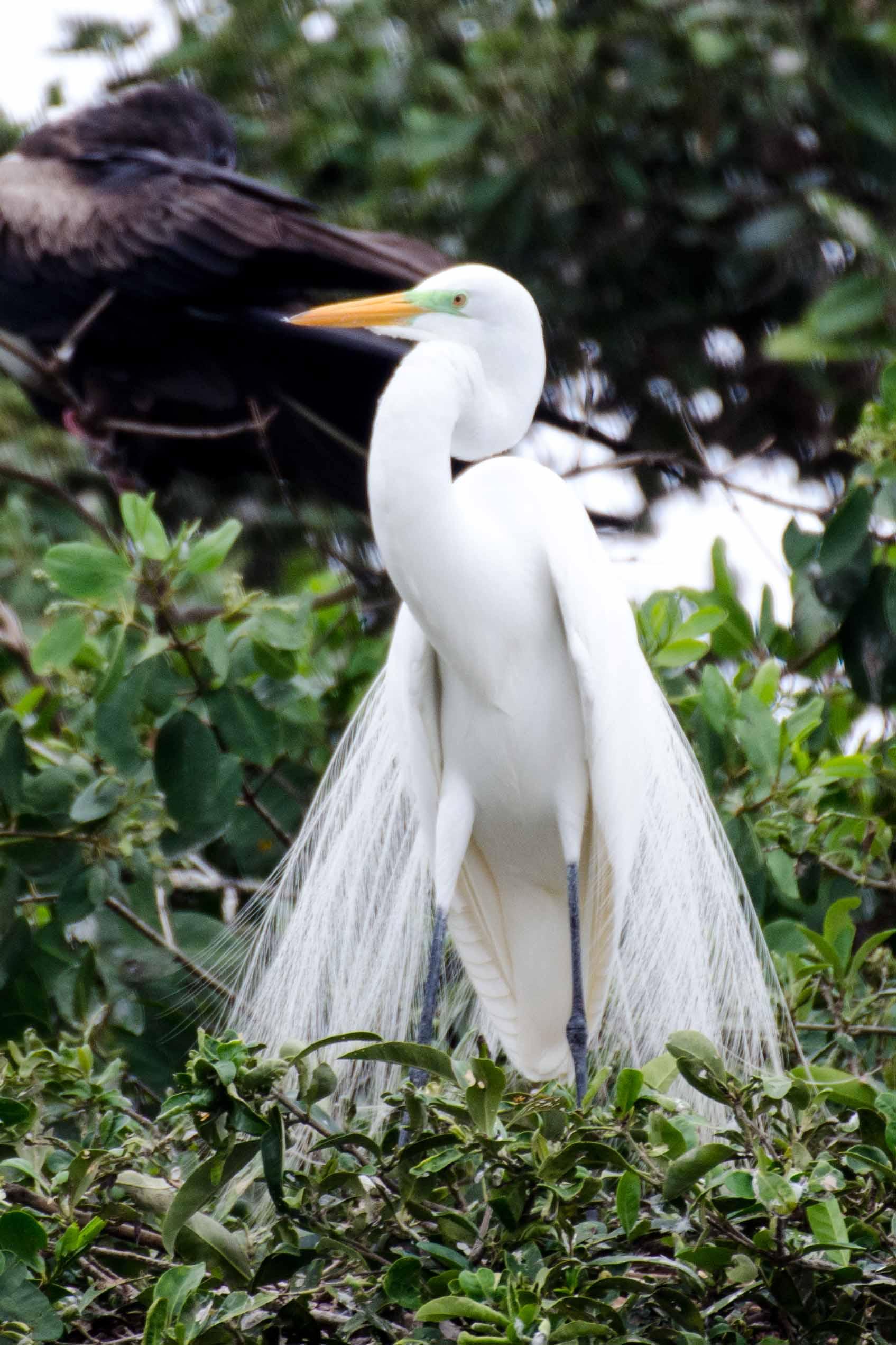Great Egret, Isla de Corazon, Ecuador | ©Angela Drake / Not Your Average American