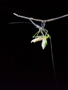Pastaza Province, Insect