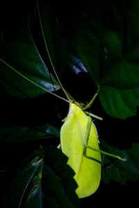 Pastaza Province, Leaf-like Insect