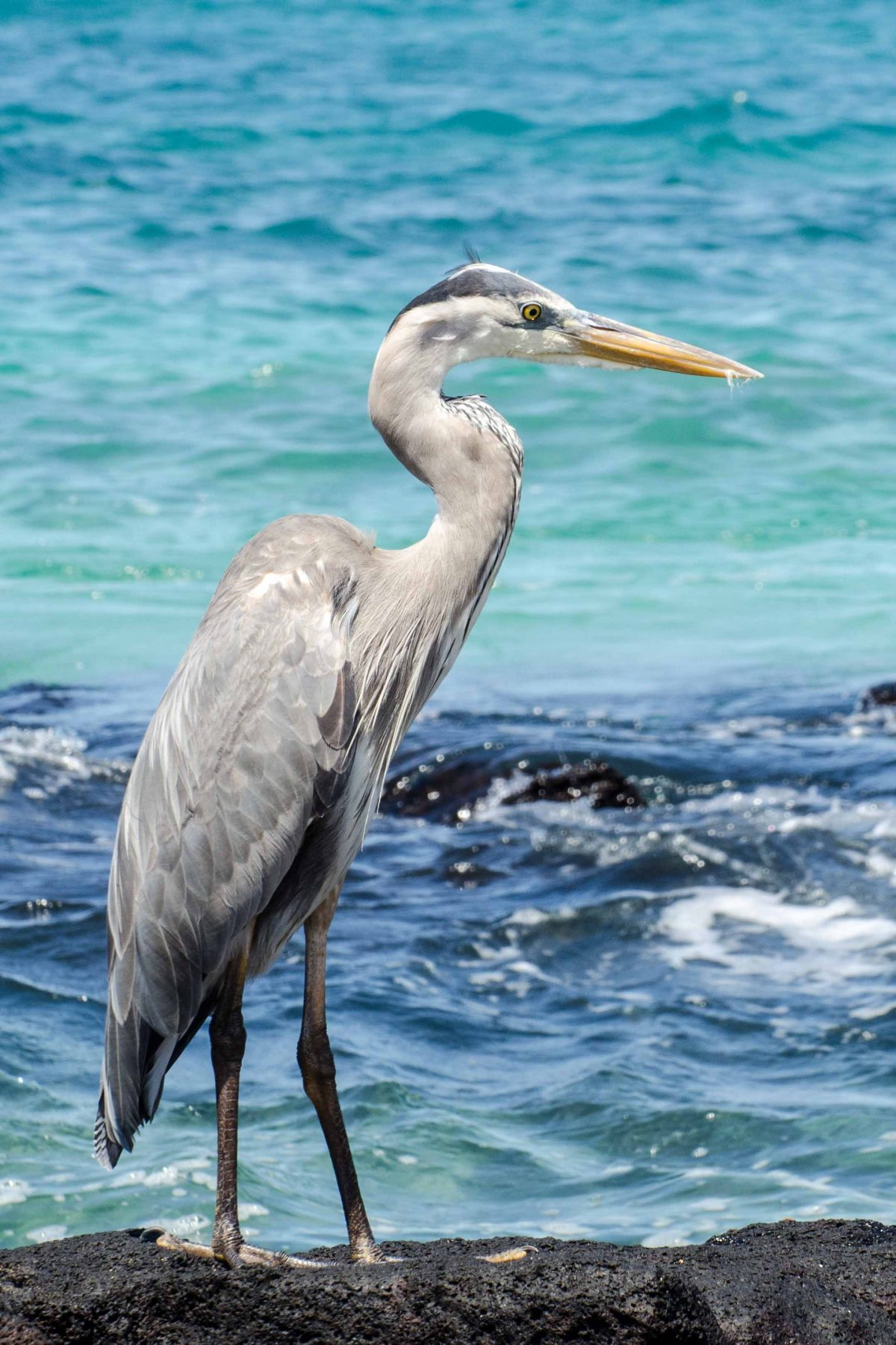 Great Blue Heron, San Cristobal Island, the Galapagos, Ecuador   ©Angie Drake