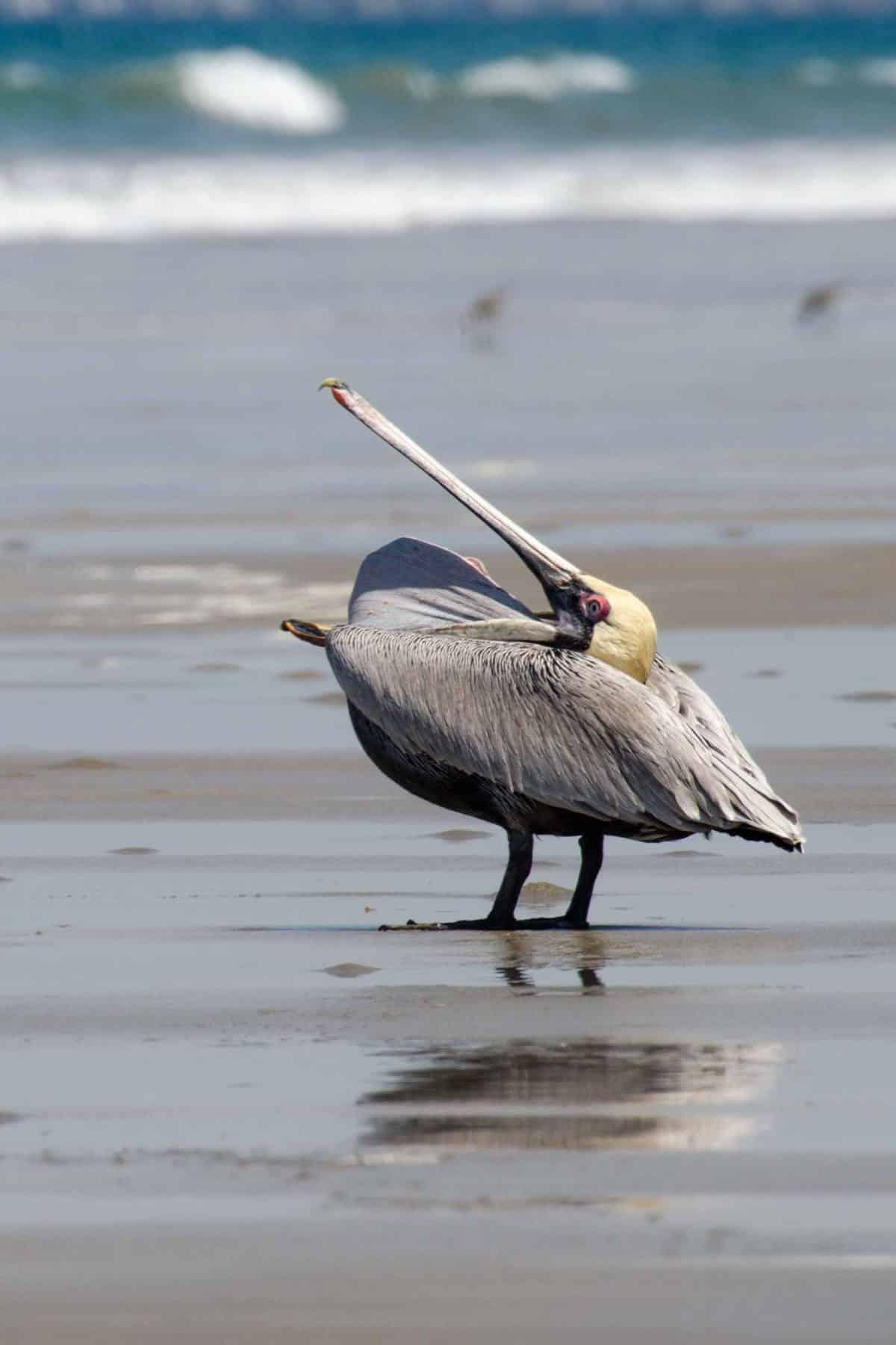 Brown Pelican (Pelecanus occidentalis), Pungay, Ecuador | ©Angela Drake / Not Your Average American; Ecuador Por Mis Ojos