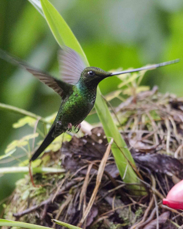 Swordbill Hummingbird, Guango Lodge, Ecuador