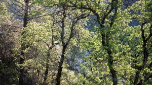California Oak - Buttermilk Bend