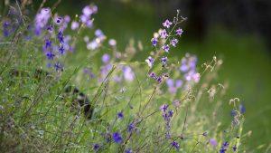 Wild Larkspur - Buttermilk Bend
