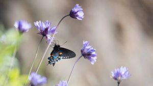 Pipe Vine Swallowtail - Buttermilk Bend