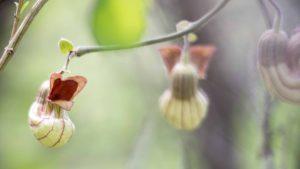 Pipe Vine - Buttermilk Bend