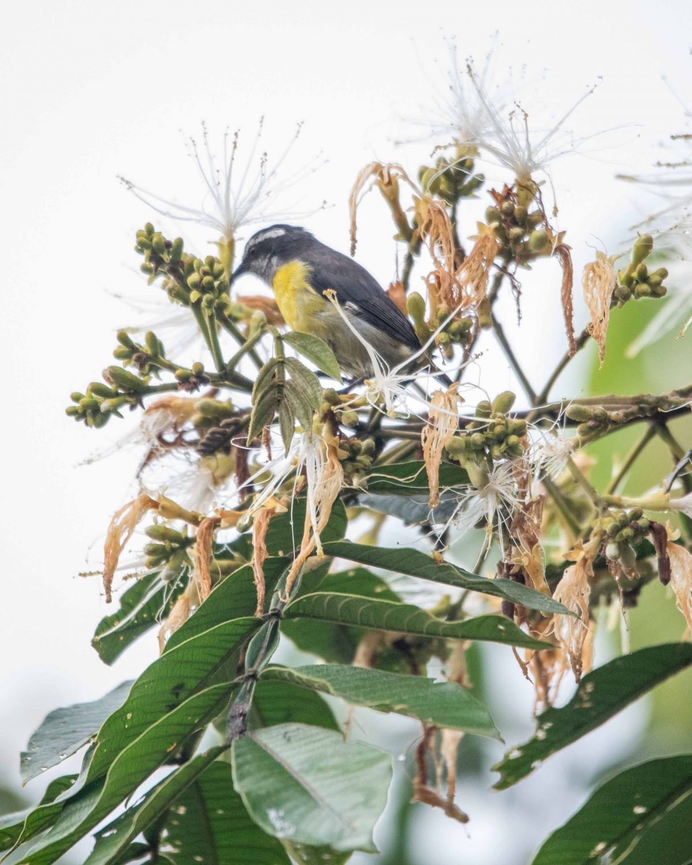 Small bird, Pacto, Ecuador