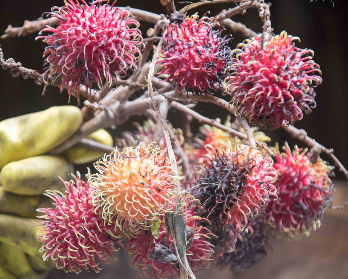 Achotillo, a fruit similar to  Lychee.