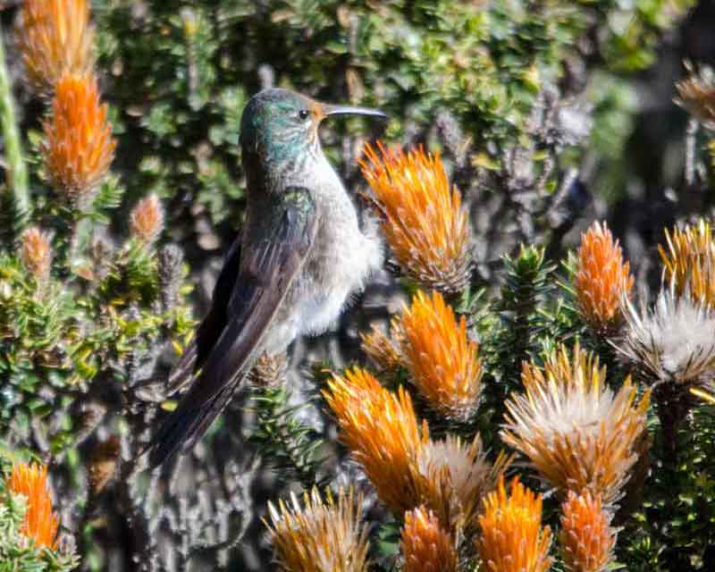 Female Star of Chimborazo hummingbird, Chimborazo Lodge, Ecuador | ©Angela Drake