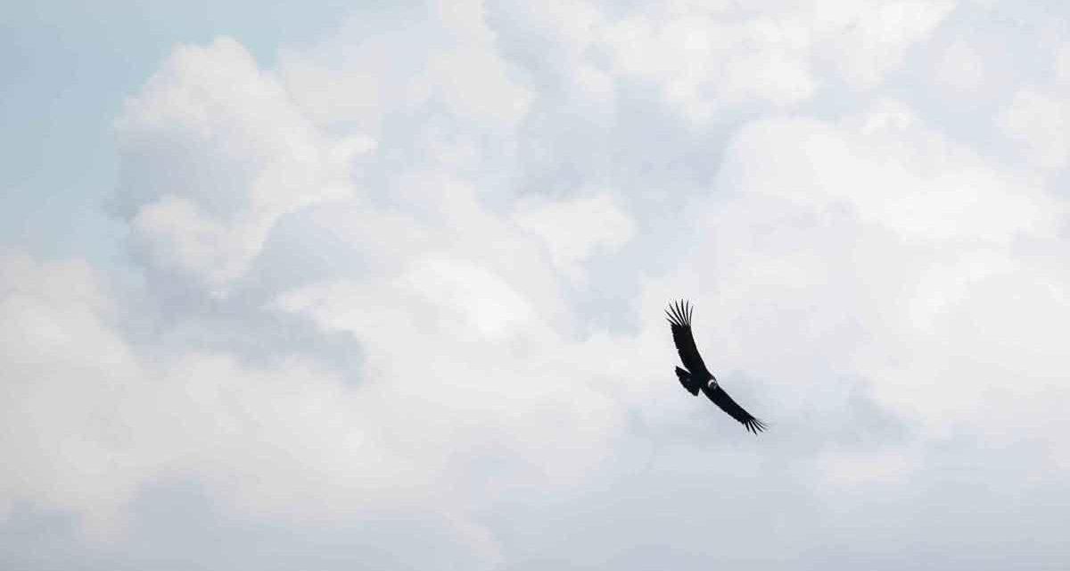 The Andean Condor in Ecuador