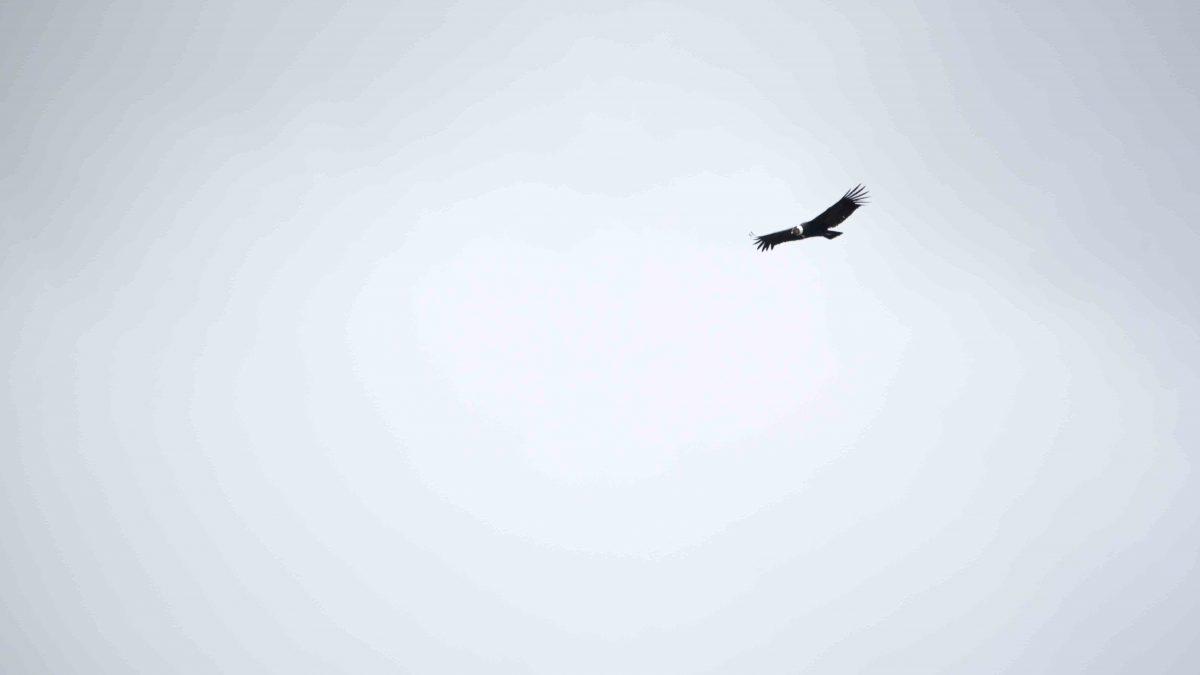 Condor Viewing; Reserva Antisanilla, Secas, Ecuador