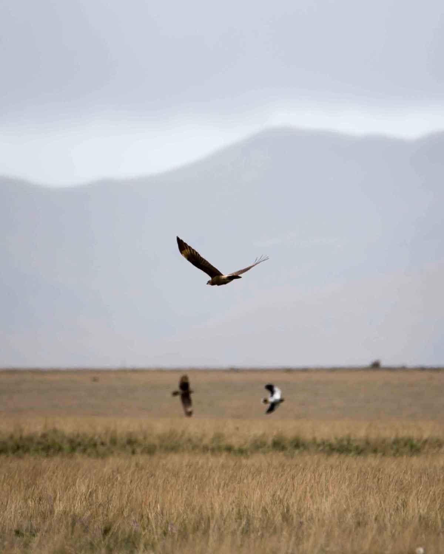 Carunculated Caracaras in Flight, Antisana Conservation Area   ©Angela Drake