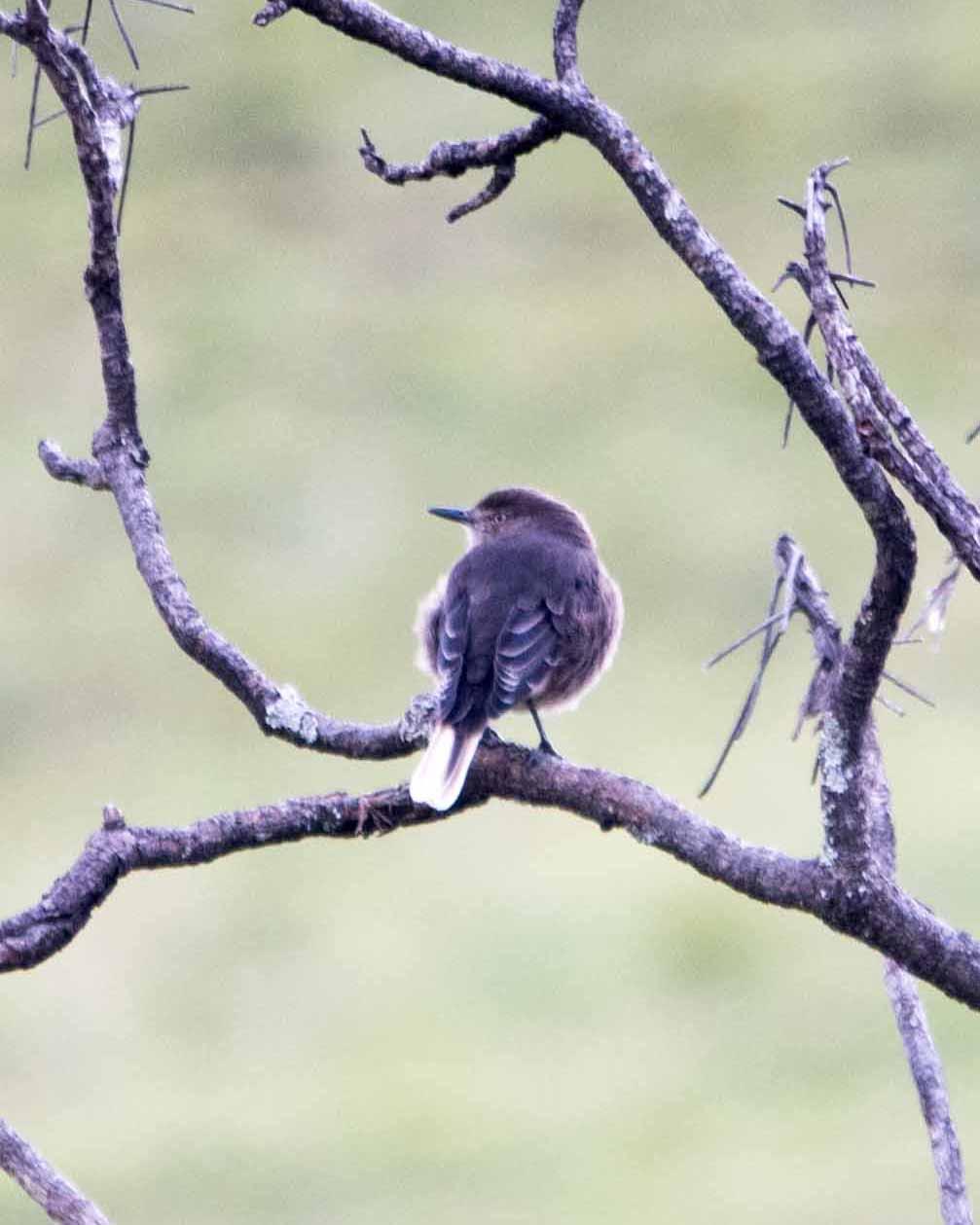 A Black-billed Shrike Tyrant (Agriornis montanus)   ©Angela Drake / Not Your Average American
