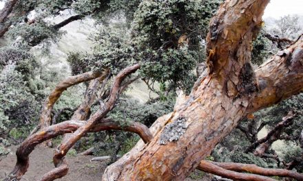 The Ancient Polylepis Forests of Ecuador