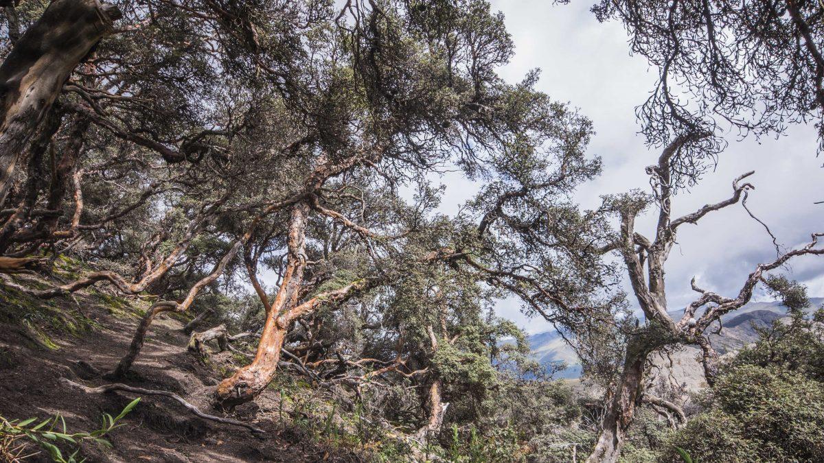 Polylepis Forest, Chimborazo Wildlife Reserve, Ecuador | ©Angela Drake / Not Your Average American