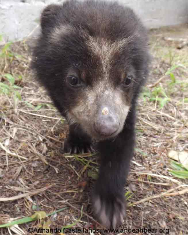 Pinocchio the Ecuadorian Andean Bear | Printed with permission from Armando Castellanos, the Andean Bear Foundation