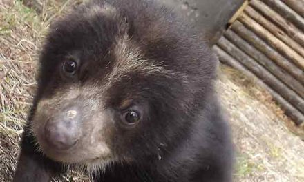 The Raising of Pinocchio the Andean Bear