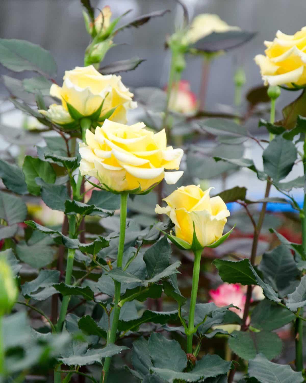 Yellow Roses, Pichincha Province, Ecuador   ©Angela Drake / Not Your Average American