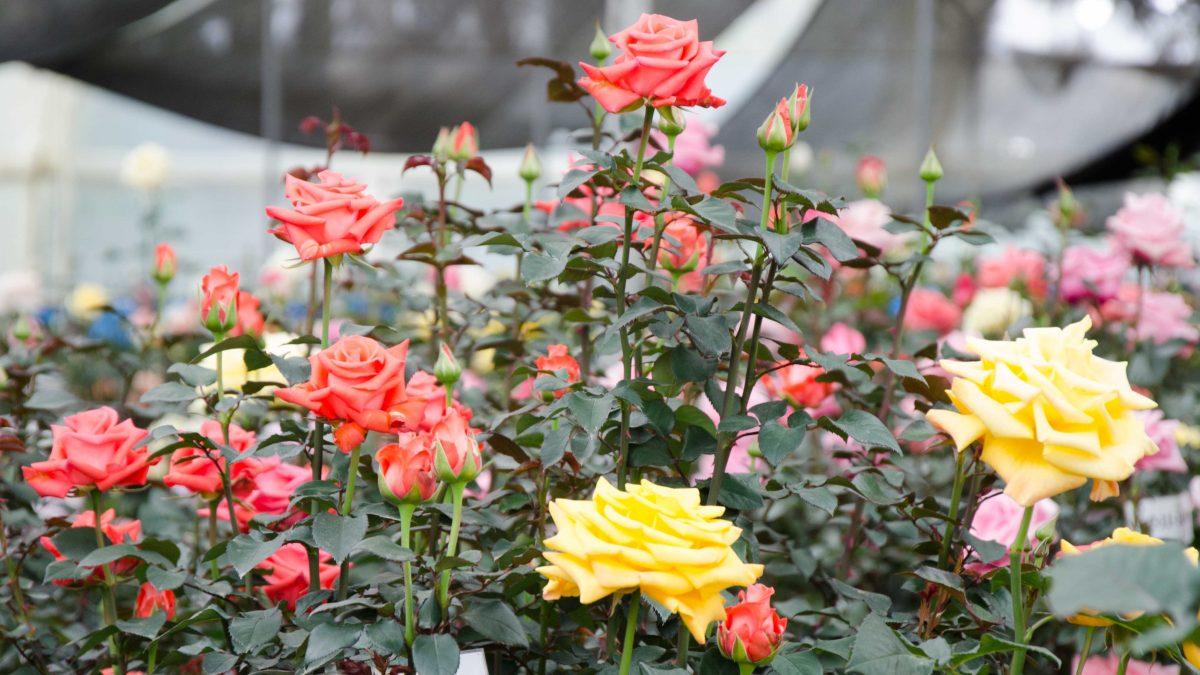Roses, Pichincha Province, Ecuador   ©Angela Drake / Not Your Average American