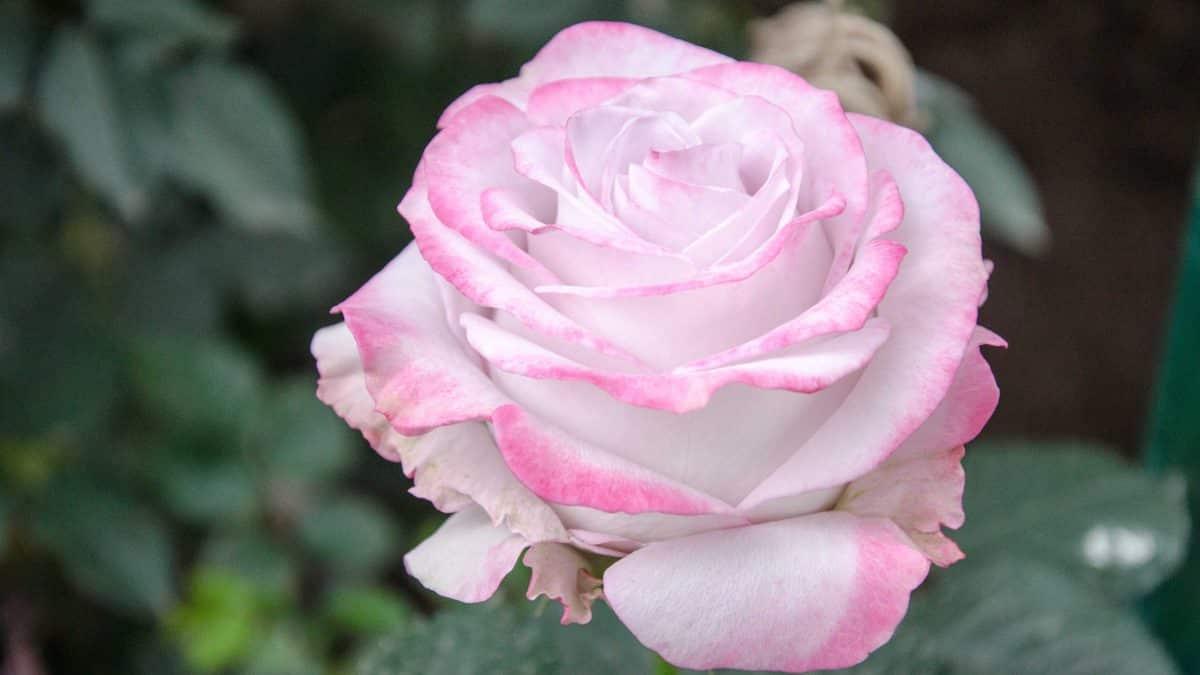 A Pink Rose, Pichincha Province, Ecuador   ©Angela Drake / Not Your Average American