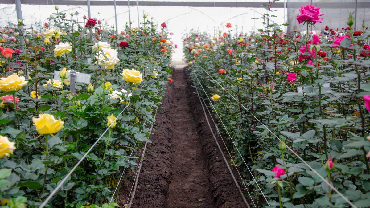 Greenhouse Roses, Pichincha Province, Ecuador   ©Angela Drake / Not Your Average American