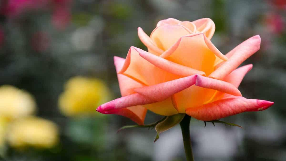 A Multi-colored Rose, Pichincha Province, Ecuador   ©Angela Drake / Not Your Average American