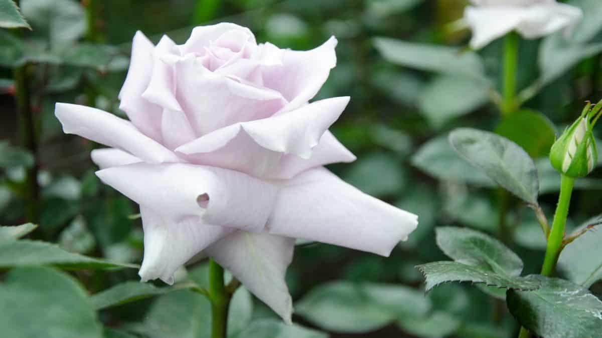 A Pale Purple Rose, Pichincha Province, Ecuador   ©Angela Drake / Not Your Average American