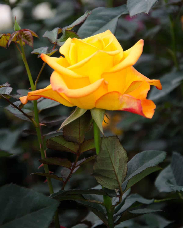 A Yellow Rose, Pichincha Province, Ecuador   ©Angela Drake / Not Your Average American