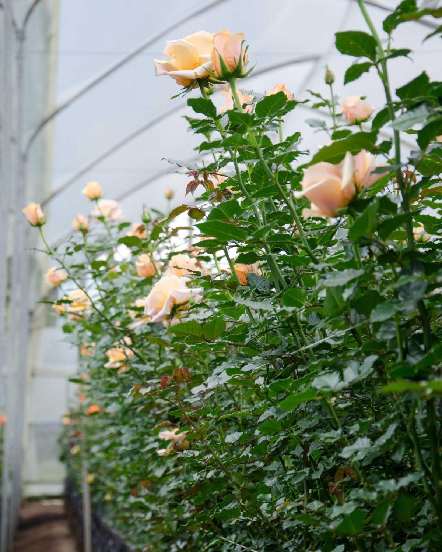 Cream-colored Roses, Pichincha Province, Ecuador   ©Angela Drake / Not Your Average American