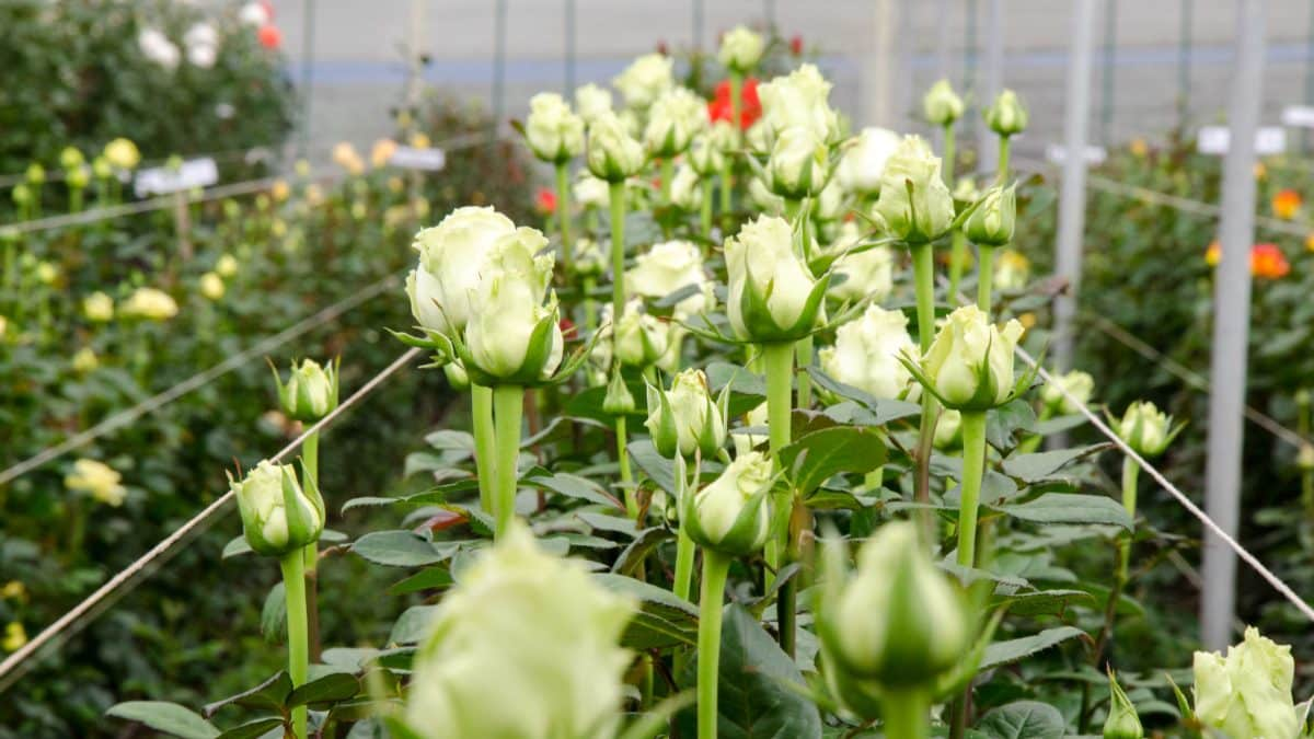 White Roses, Pichincha Province, Ecuador   ©Angela Drake / Not Your Average American