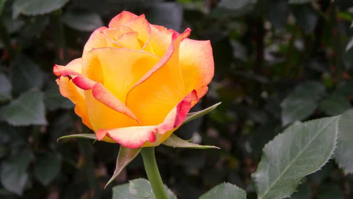 A Multi-colored Yellow Rose, Pichincha Province, Ecuador   ©Angela Drake / Not Your Average American