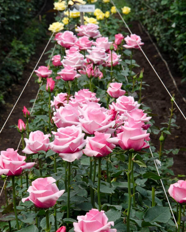 Pink Roses, Pichincha Province, Ecuador   ©Angela Drake / Not Your Average American