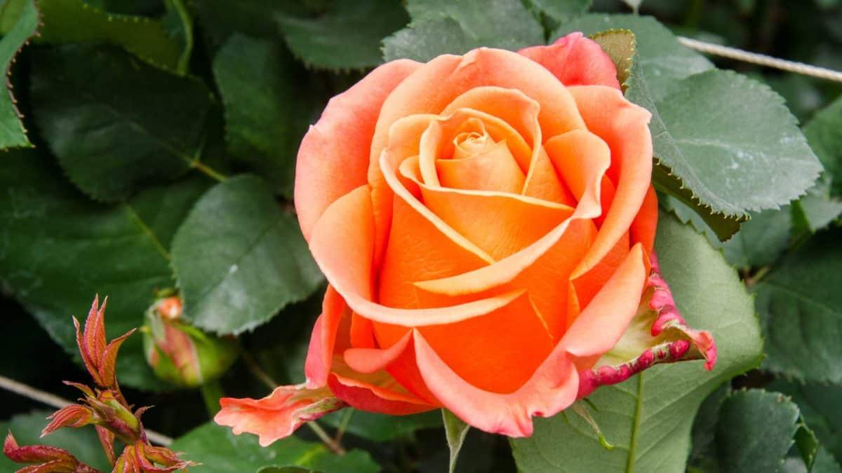 An Orange Rose, Pichincha Province, Ecuador   ©Angela Drake / Not Your Average American