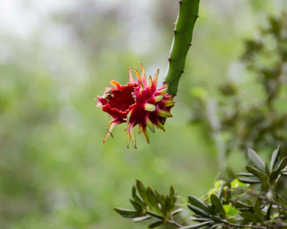 Wild Pitahaya (dragon fruit), Manabí, Ecuador | @Angela Drake