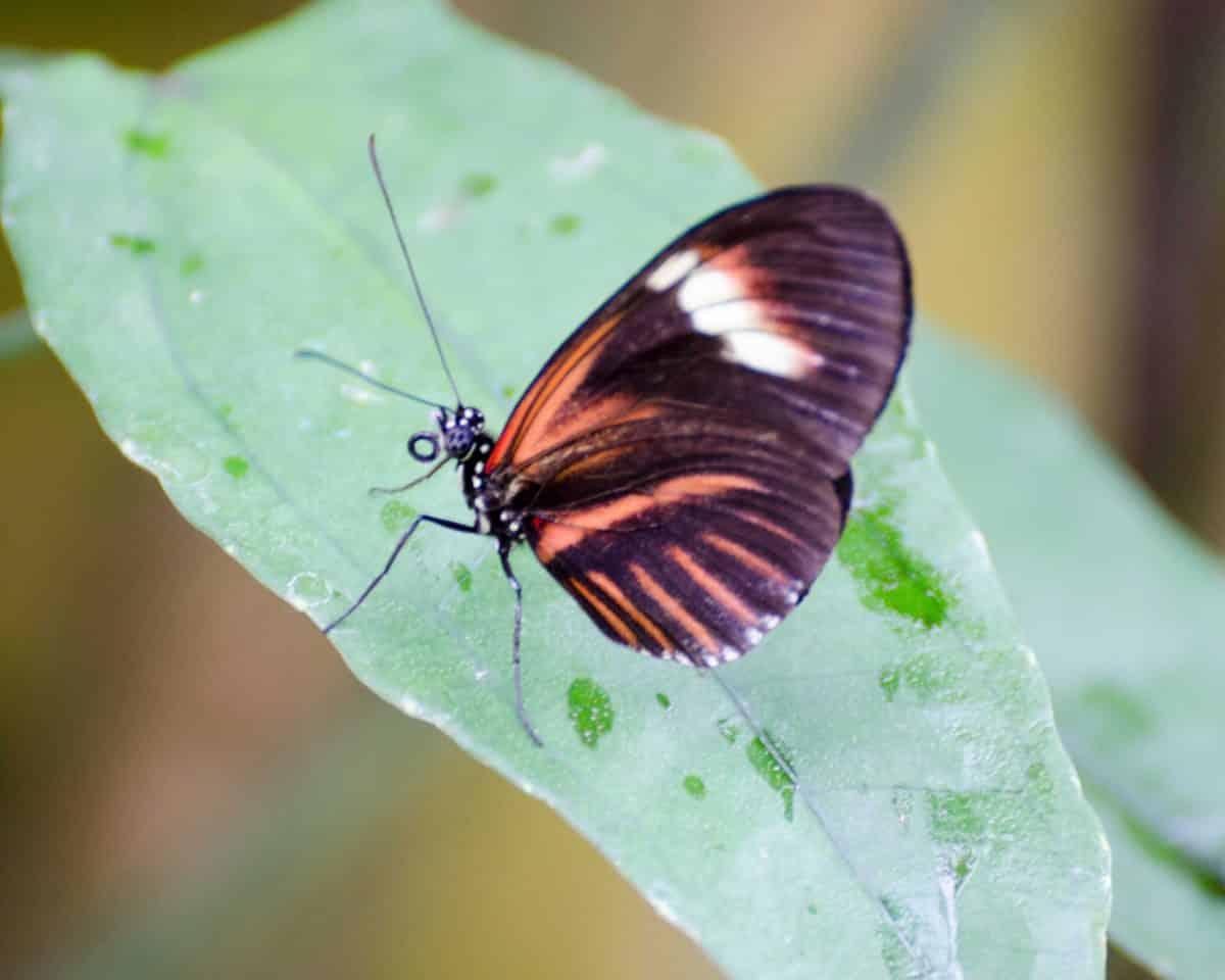 Butterfly at the Mariposario (butterfly farm), Mindo, Ecuador | © Angela Drake