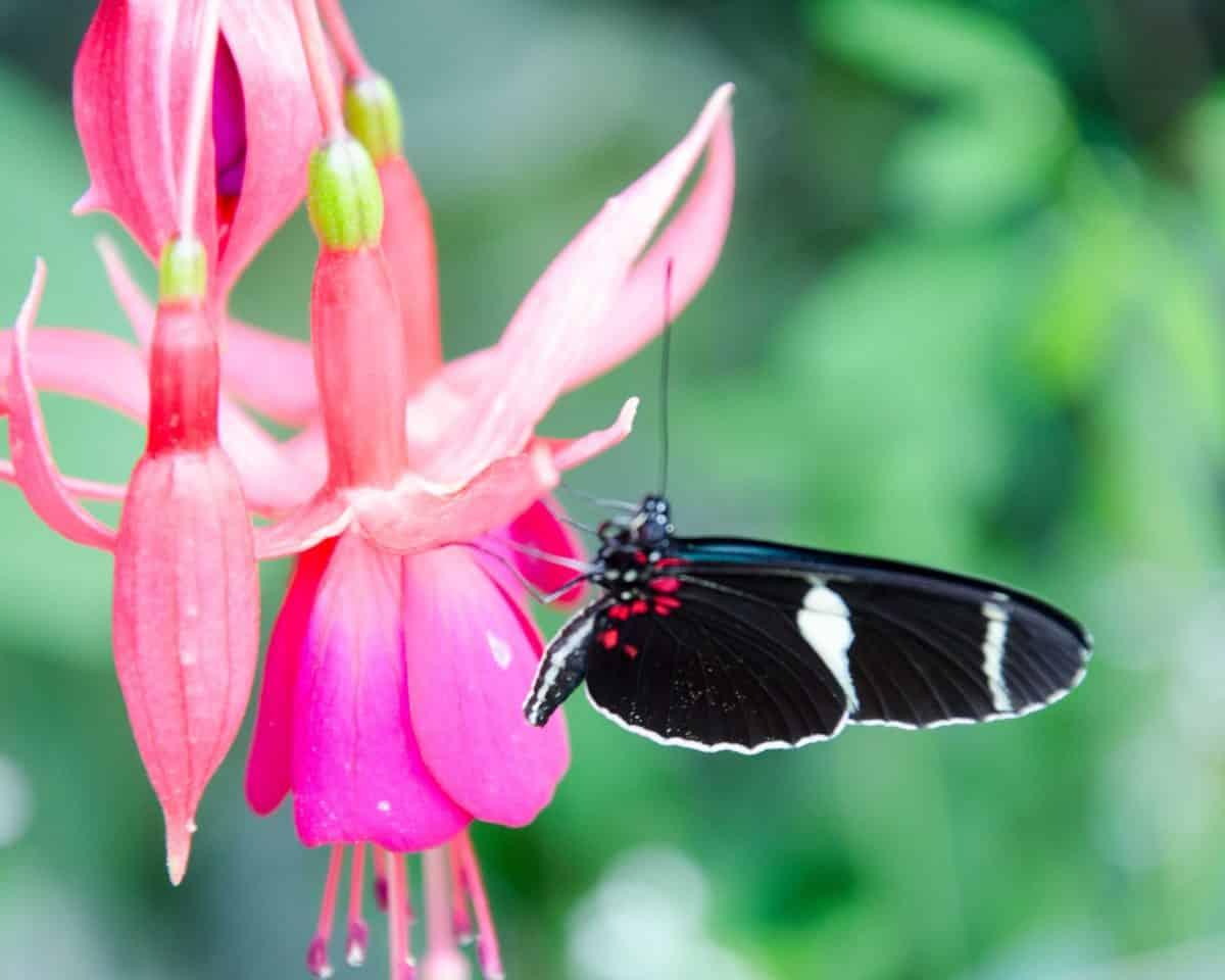 Butterfly at the Mariposario (butterfly farm), Mindo, Ecuador   © Angela Drake