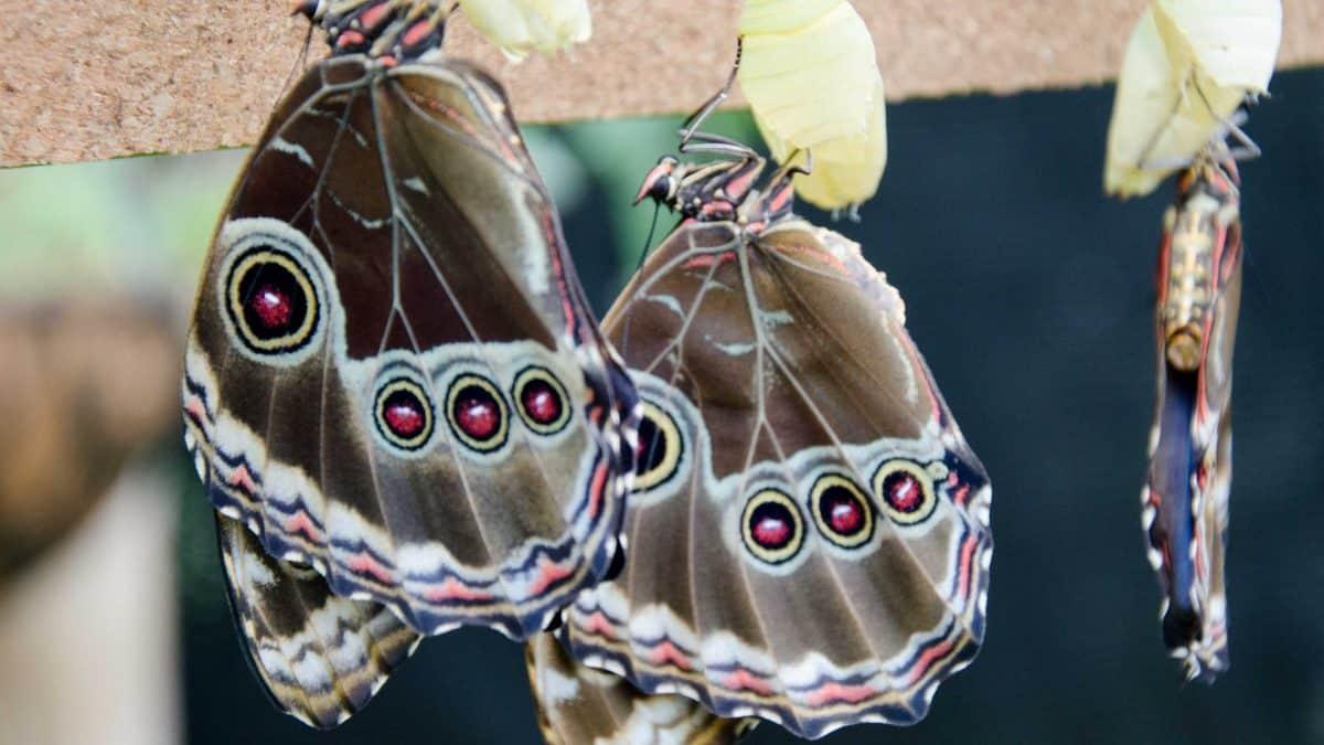 Newly emerged butterflies at the Mariposario (butterfly farm), Mindo, Ecuador   © Angela Drake